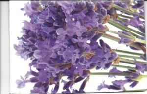 lavender envelope fr